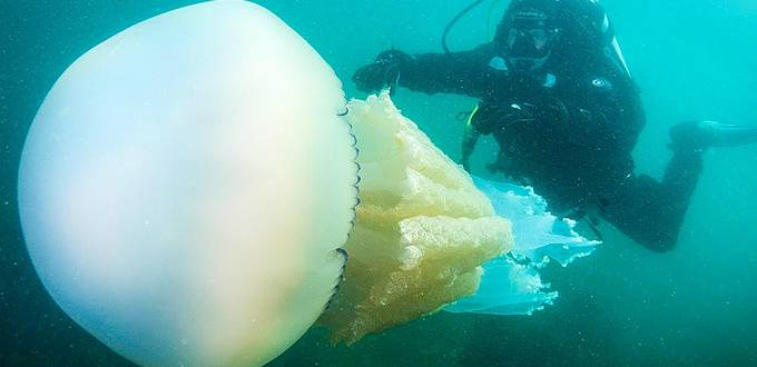 Human-size jellyfish spotted underwater in Britain